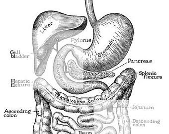 GIT_Liver_GB_Pancreas_image